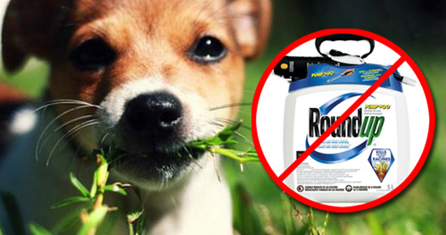 Lawn Chemical Dangers for Your Dog